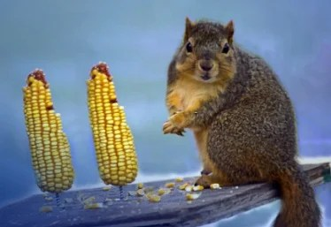 squirrel standing next to two upright unhusked ears of corn.