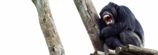 Ape under heavy rain