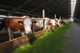 Sfruttamento delle mucche