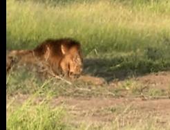 ハイエナのおこぼれをもらう予定のライオン