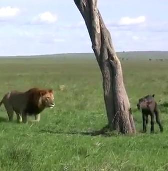 一人ぼっちのアフリカ水牛の赤ちゃん、ライオンに仕留められる