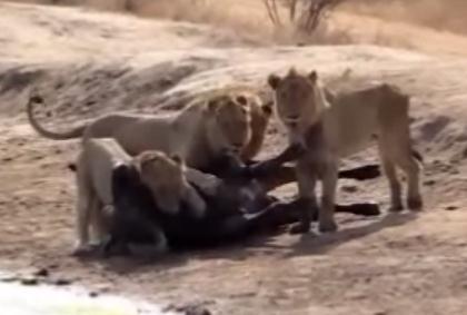 ライオンに襲われた水牛、遅すぎた仲間の救出