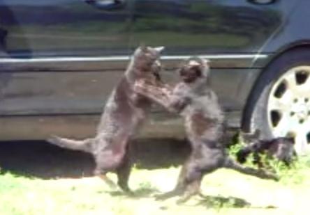 猫同士の激しい喧嘩、それを嫌うワンコ達