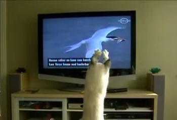 テレビに映っている鳥を捕まえようとする猫