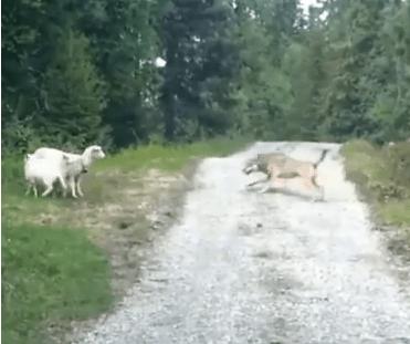 オオカミ vs. 羊