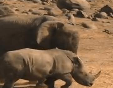 ゾウ vs. サイ