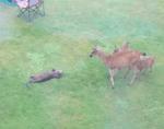鹿ファミリーと交流を図ろうと必死になるカワウソ