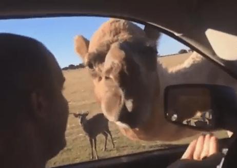 ラクダが車に顔を突っこみ観光客の食糧を強奪