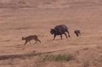 ライオンに襲われるバッファローの子供を仲間が守る映像