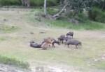 1頭のトラ vs. 水牛の群れ