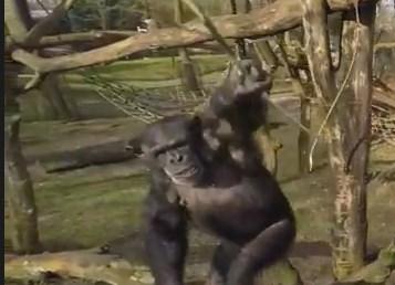 チンパンジーを撮影していたドローン、棒で落とされる