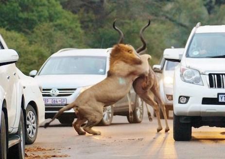 サファリパークの観光客の目の前で雄ライオンがクーズーを狩る