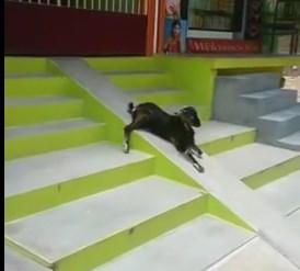階段のスロープを滑り台代わりにして遊ぶヤギ