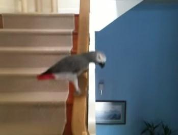 階段の手すりを滑って下の階に下りるオウム