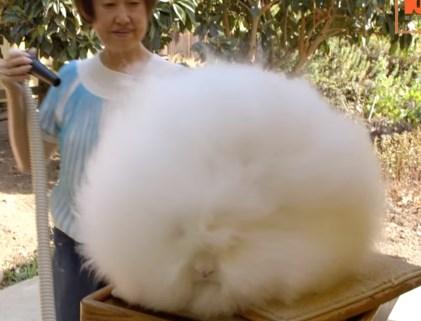 アンゴラウサギのシャンプー・ブローは大変だ