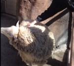 もっと背中を掻きなさい!と要求する羊