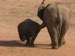 サイ vs. 若いゾウ