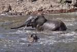 カバと水浴びするゾウの群れがニアミス!