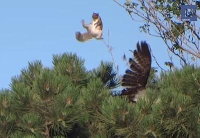 鷹がリスを襲うもビックリジャンプで逃げられた!