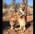 2頭の赤ちゃんカンガルーの毛づくろい映像