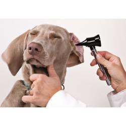 Small Crop Of How To Treat Dog Ear Infection Without Vet