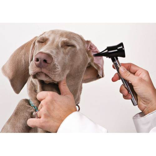 Medium Crop Of How To Treat Dog Ear Infection Without Vet