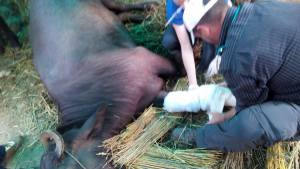 Setting a buffalo's injured leg.  (G.P. Dahal photo)