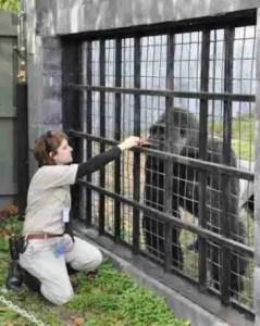 Amanda O'Donoughue with a silverback gorilla circa 2009. (Facebook photo)