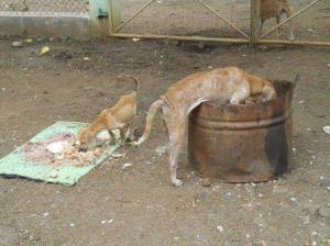 The last two dogs rescued from Anuradhapura.  (KACPAW photo)
