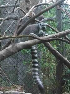 Lemur. (Kenny Robbins photo)