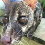 Civet coffee:  cruelty in a cup