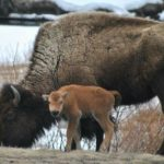 Winter policy favors feeding elk but starving bison