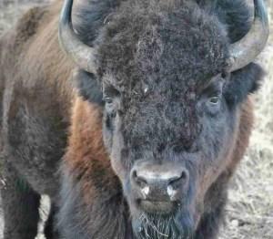 (Buffalo Field Campaign photo)