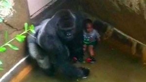 Harambe and the boy who fell, near the start of the Kim O'Connor video.