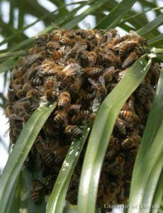 Africanized bee swarm. (University of Florida photo)
