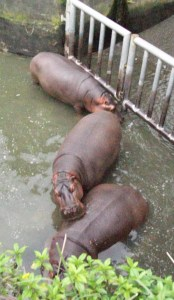 Asian hippos vertical
