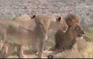 Asiatic lions.  (Big Cat Rescue photo)
