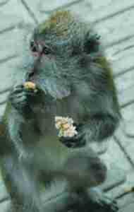 Bali performing monkey.  (MC)
