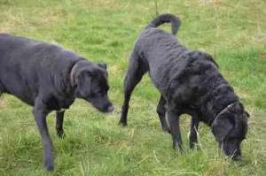 Black Labrador retrievers. (Beth Clifton photo)