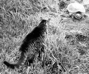 Cleo the cat meets an old snapping turtle.  (MC)