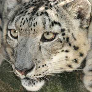 Cloe, 1997-2011. (Big Cat Rescue photos.)