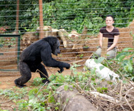 Agnes Souchal releases a chimp back to the wild.  (IDA-Africa photo)