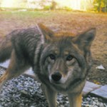 Coyotes:  nature's animal control officers