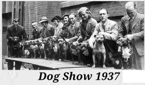 """""""The long and short of it is that the name 'Staffordshire Bull Terrier' was settled upon and the English Kennel Club began recognizing the Stafford as a breed eligible for show in 1935."""" --HomeBrewedStaffords.com"""