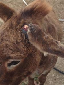 The second donkey also suffered serious ear injuries.  (KS photo)