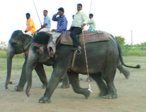 "Jaipur elephant polo in 2006,  before it became a big tourist attraction.  ""It looks to me as though they are smiling as they stretch out their legs,""  wrote then-Help In Suffering head trustee Christine Townend,  who took this photo.  ""You can see there is no ankus in use.  The elephants quickly learn what they are meant to do,  and do it willingly,  without goading."""