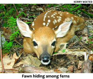 Whitetail deer fawn.  (Maryland Department of Natural Resources photo)