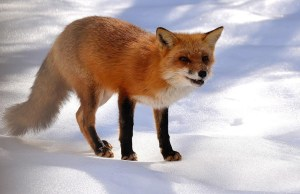 Fox in snow displaying distemper symptoms.  (Jeff Peterson photo)