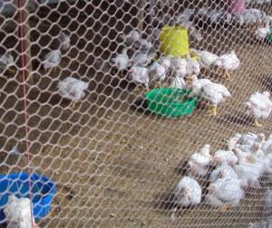 Free-range hens on deep litter.