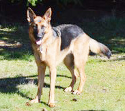 German shepherd. (Beth Clifton photo)